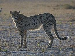 Der Gepard weicht am deutlichsten vom typischen Katzenbauplan ab.