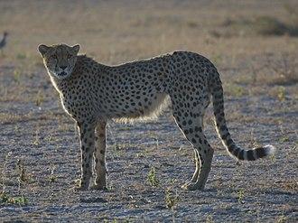 Acinonyx - Cheetah, Acinonyx jubatus