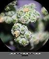 Chenopodium vulvaria sl42.jpg
