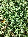 Chenopodium vulvaria sl95.jpg