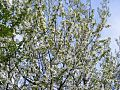 Cherry-Flowers 30512-480x360 (4817518056).jpg