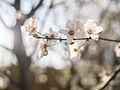 Cherry blossom (12890552973).jpg