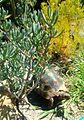 Chersina angulata tortoise - Cape Town.jpg