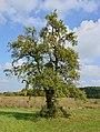 Cherves-Richemont 16 Poirier 2014.jpg