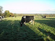 Cheshire Cattle