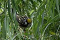 Chestnut-sided Warbler (male) Fall Out 2 Sabine Woods TX 2018-04-09 09-27-30 (40795001474).jpg