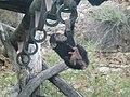 Chimpanzee baby.jpg