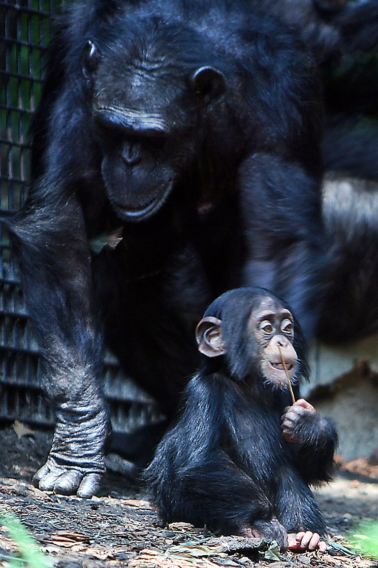 Chimpanzee mom and baby