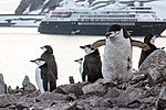 Chinstrap Penguins Half Moon Island Antarctica 11 (40371513433).jpg