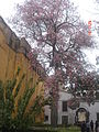 Chorisia o Palo Borracho Jardines de los Reales Alcázares Sevilla.jpg