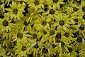 Chrysanthemum - Science City - Kolkata 2012-01-11 8024.JPG