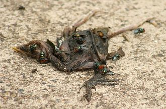 Chrysomya megacephala - Flies laying eggs on a dead baby bird.