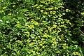 Chrysosplenium alternifolium in national nature reserve Vyšenské kopce in spring 2012.JPG