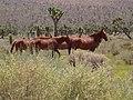Chukar Trapping06 Wild Horses (36353290084).jpg