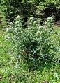 Cirsium eriophorum at Lac du Fouyet (5).jpg