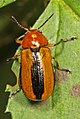 Clay-colored Leaf Beetle - Anomoea laticlavia, Meadowwood Farm SRMA, Mason Neck, Virginia.jpg