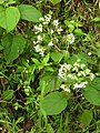Clerodendrum infortunatum-3-kottor-kerala-India.jpg