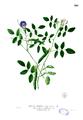 Clitoria ternatea Blanco2.301.png