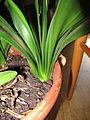 Clivia miniata (004).jpg
