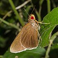 Close wing of Matatpa aria (Common Redeye) butterfly.jpg