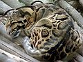 Clouded Leopard in Darjeeling Zoo.jpg