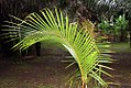 Cocos nucifera 49zz.jpg