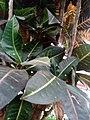 Codiaeum variegatum F3.jpg