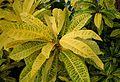 Codiaeum variegatum pictum kz2.jpg