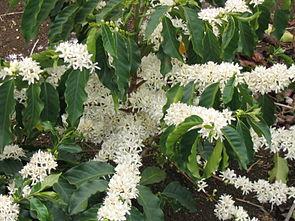 Blühender Kaffeestrauch (Coffea arabica)