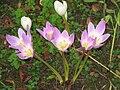 Colchicum speciosum007.jpg