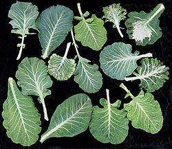 Collard Leaves.jpg
