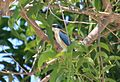 Collared Kingfisher, Jimbaran, Bali, August 2012. (8074780408).jpg