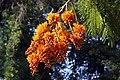 Colvillea racemosa 50D 5974.jpg