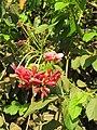 Combretum indicum - Chinese honeysuckle -Rangoon creeper at Peravoor (2).jpg