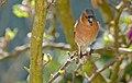 Common Chaffinch (Fringilla coelebs) male singing (17003888337).jpg