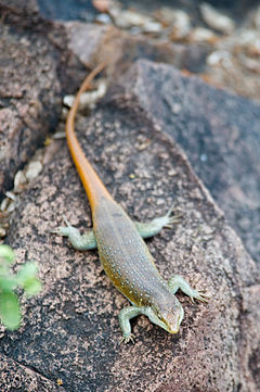 Common Flat Lizard 2355693508.jpg