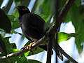 Common Myna - Sri Lanka - 01.jpg