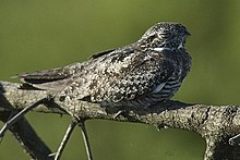 Common Nighthawk.jpg