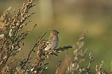 Common Rosefinch (Carpodacus erythrinus), Skaw - geograph.org.uk - 1509691.jpg