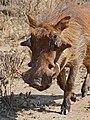 Common Warthog (Phacochoerus africanus) (31582767754).jpg