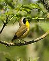 Common Yellowthroat, Finley NWR (13887001167).jpg
