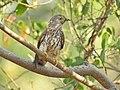 Common hawk cuckoo (Hierococcyx varius) 11.jpg