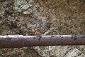 Common kingfisher (4).jpg