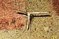 Common plume (T-moth) (BG) (24267370325).jpg