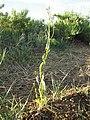Conringia orientalis (7460984576).jpg