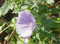 Blue Rock Bindweed (Convolvulus sabatius)