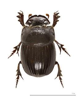 Scarabaeinae Subfamily of beetles