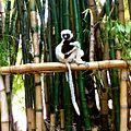 Coquerel's Sifaka Lemurs Park Antananarivo Madagascar - panoramio (3).jpg