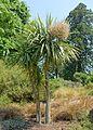 Cordyline australis - Savill Garden - Windsor Great Park, England - DSC05962.jpg