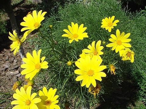Coreopsis gigantea flower is flowery